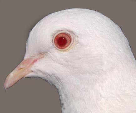 Albínó szem