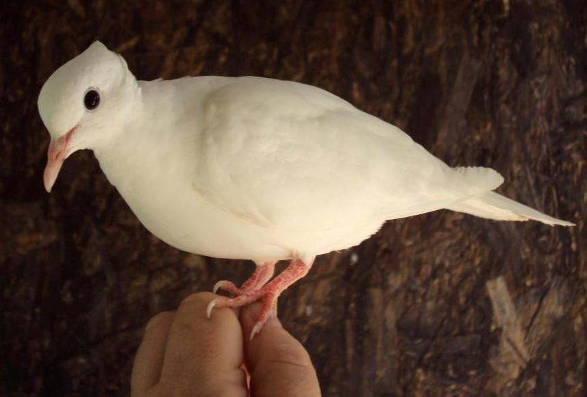 Bikaszemű fehér kontyos