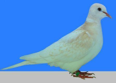 Fehérhátú kajszi